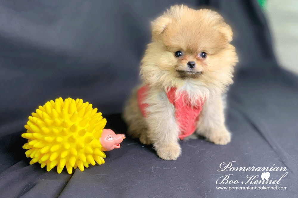 Female Puppy Pomeranian Light Orange