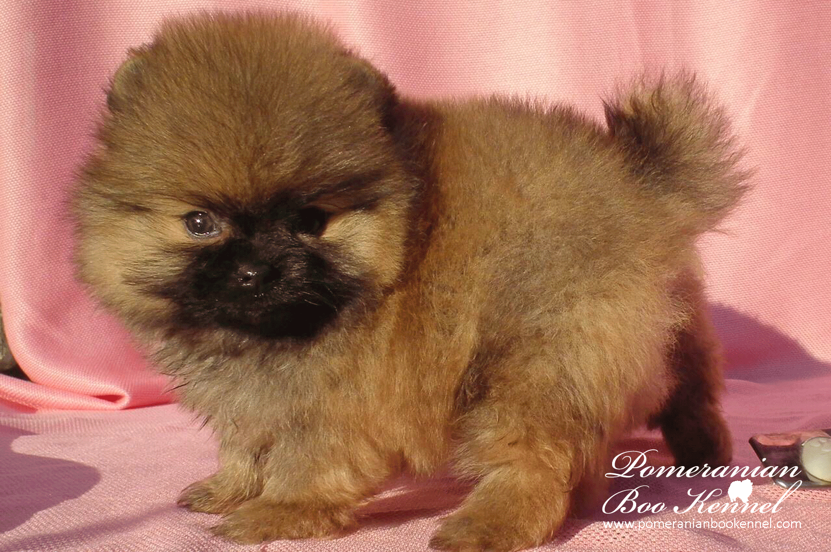 Cute Male Puppies of PomeranianPomeranian puppies for sale