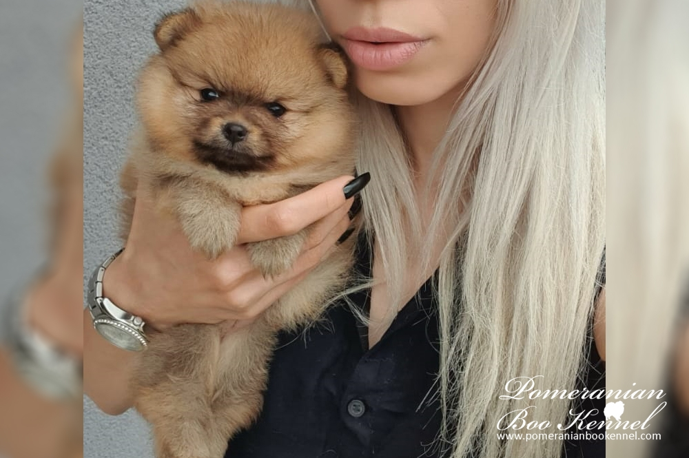 Pomeranian female puppy perfect for boo hairstyle