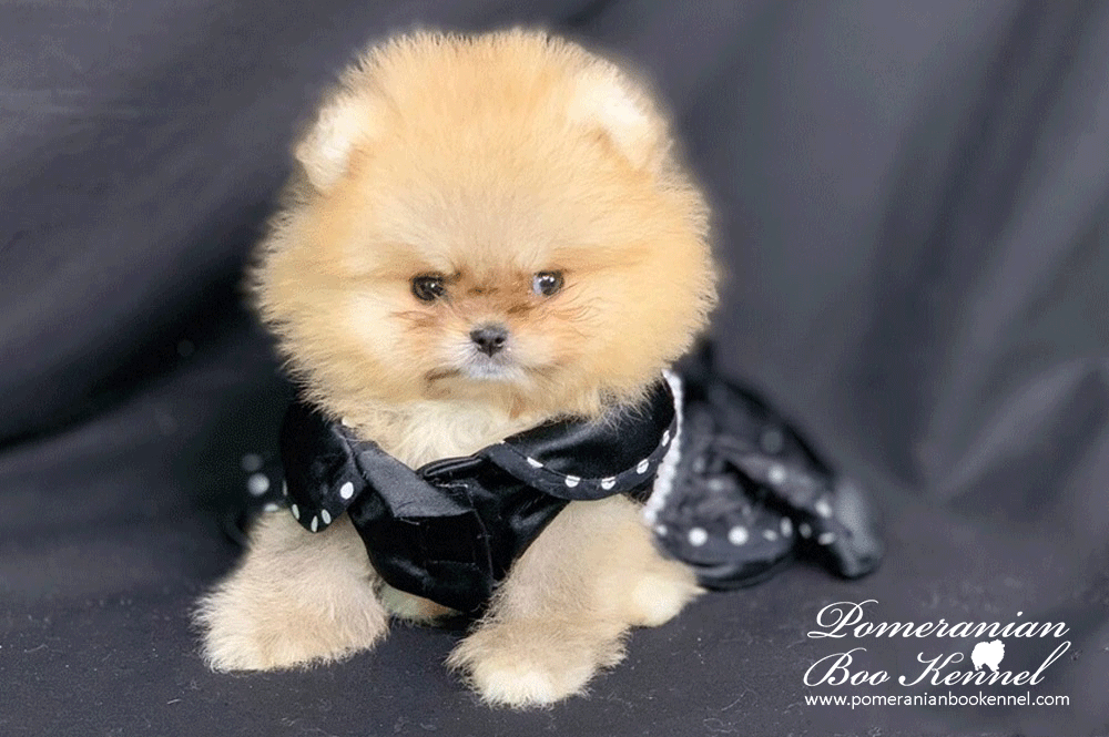 Female Pomeranian Boo Top Qualitz - Zara