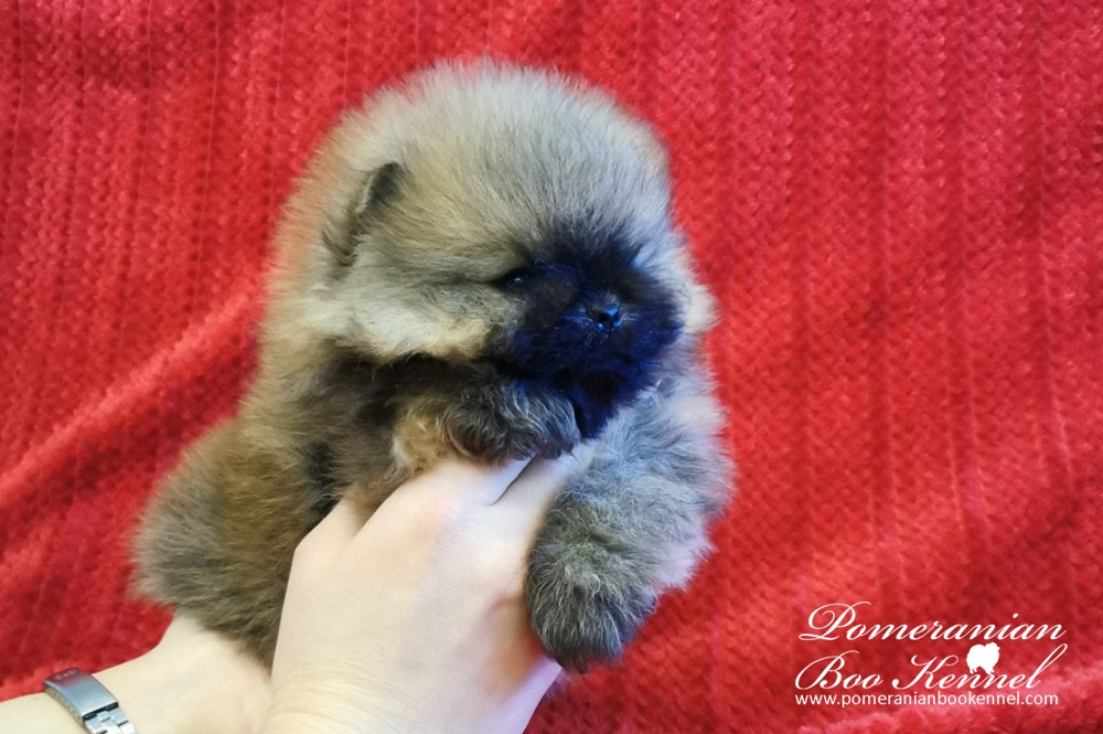 Male Pomeranian Puppy TOP Quality - Toby