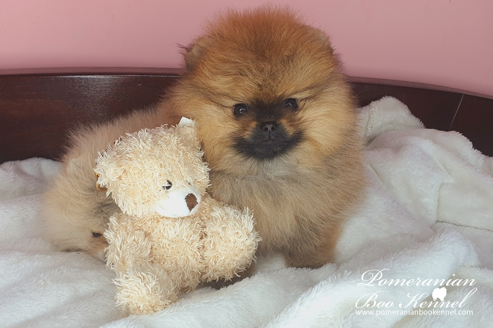Male Pomeranian Puppy TOP Quality - Simba