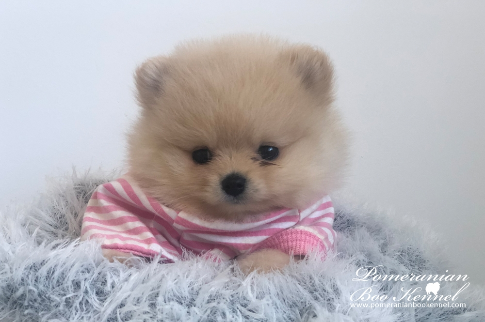 Cream male pomeranian puppy