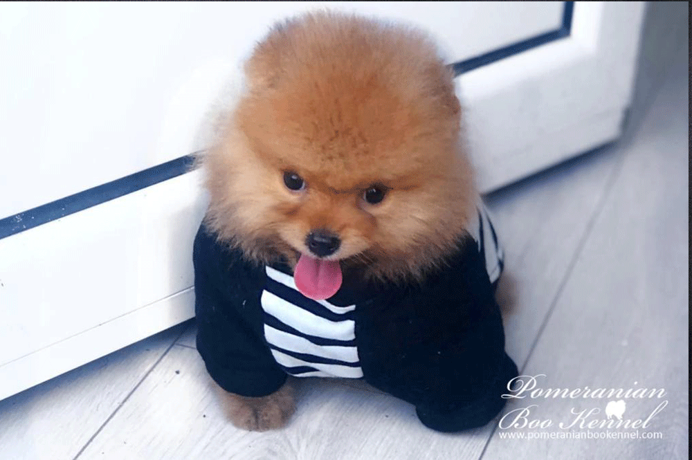 Cute Malte Puppy of Pomeranian - Toby
