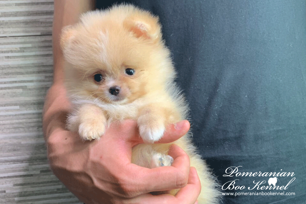 Cream Male Puppy of Pomeranian