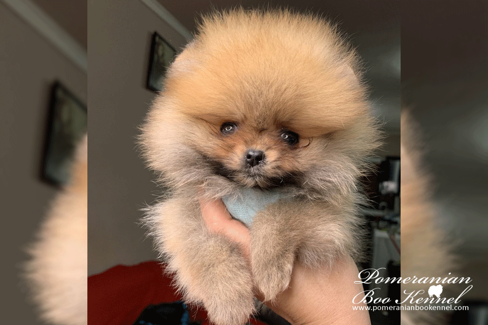 Orange Female Pomeranian Puppy