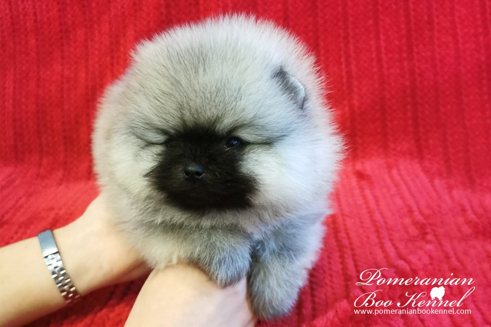 Male Pomeranian Puppy TOP Quality - Boby