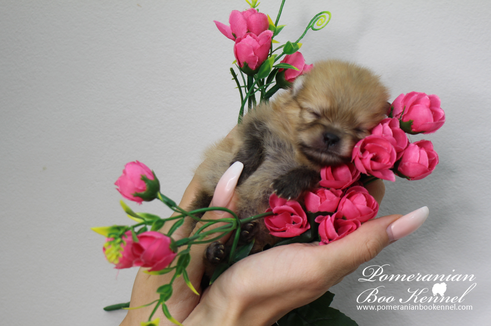 Little Pomeranian Tea is Ready for reservations