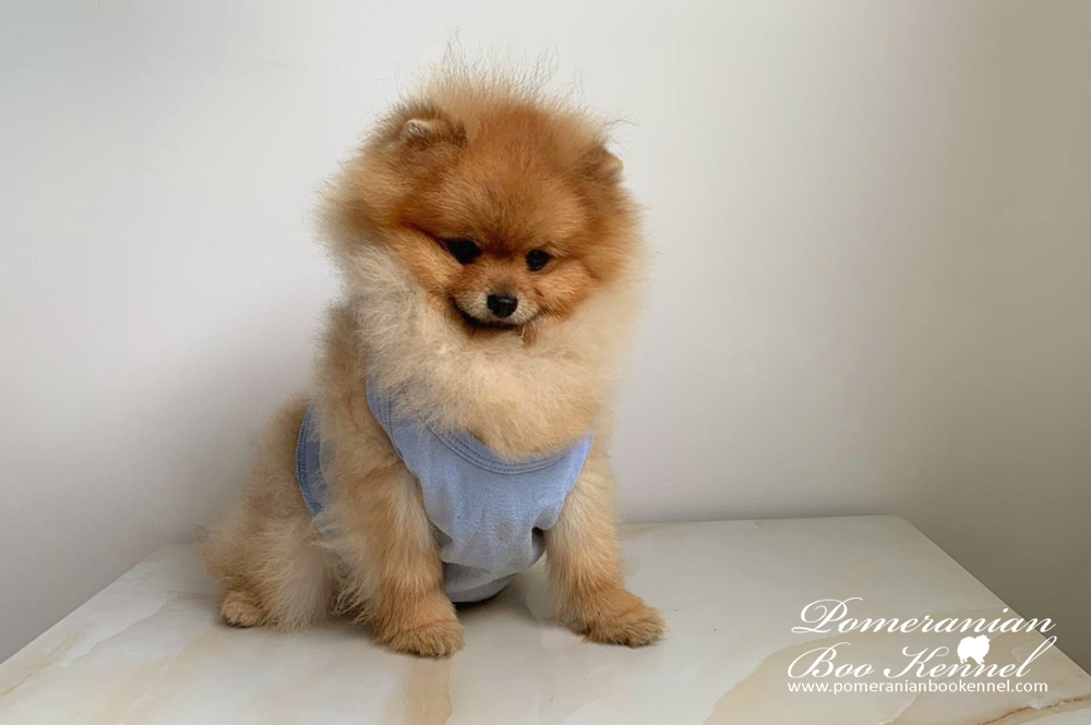 TOP quality male pomeranian 8 months old - MUFFIN
