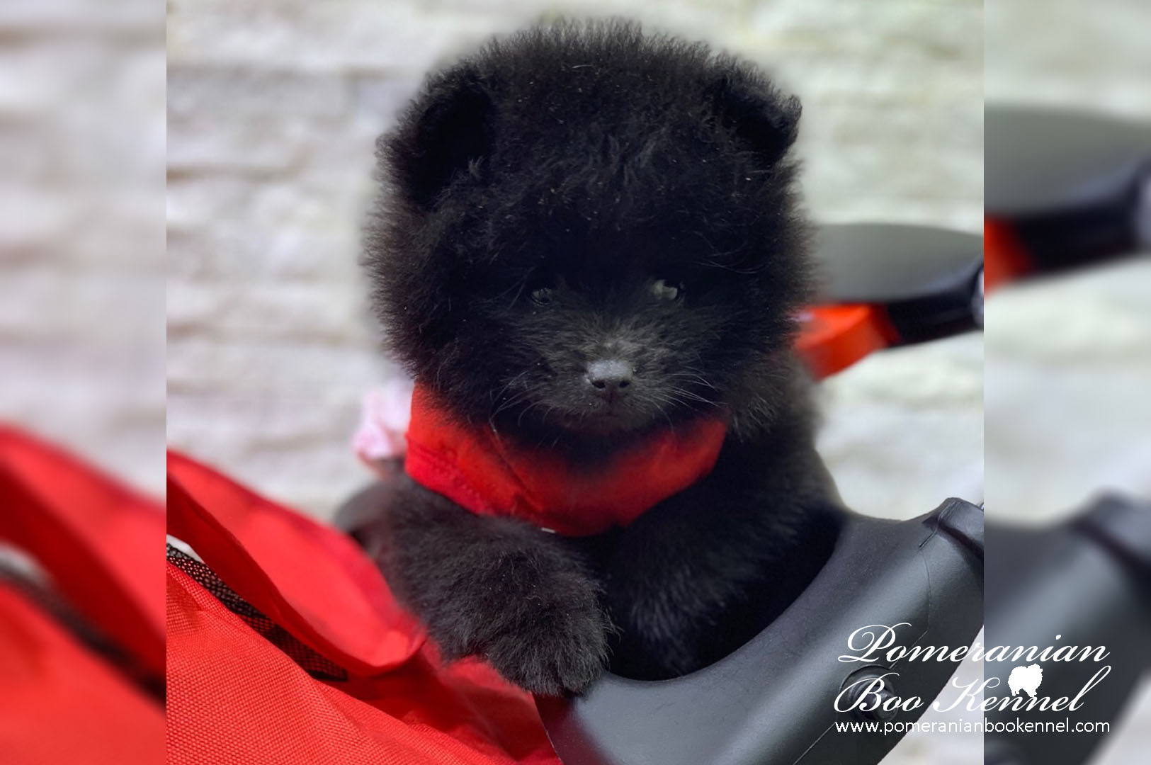 Male Puppy of Black Pomeranian