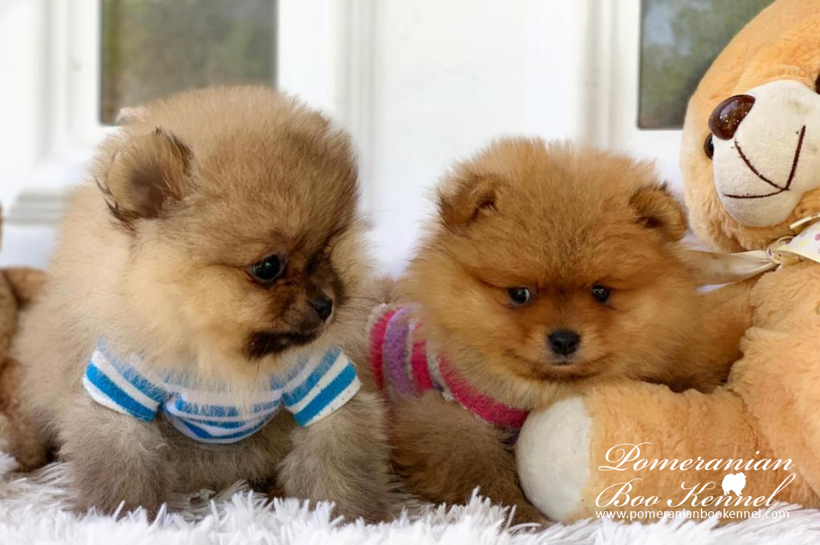 new pomeranian puppies in light orange and gray color