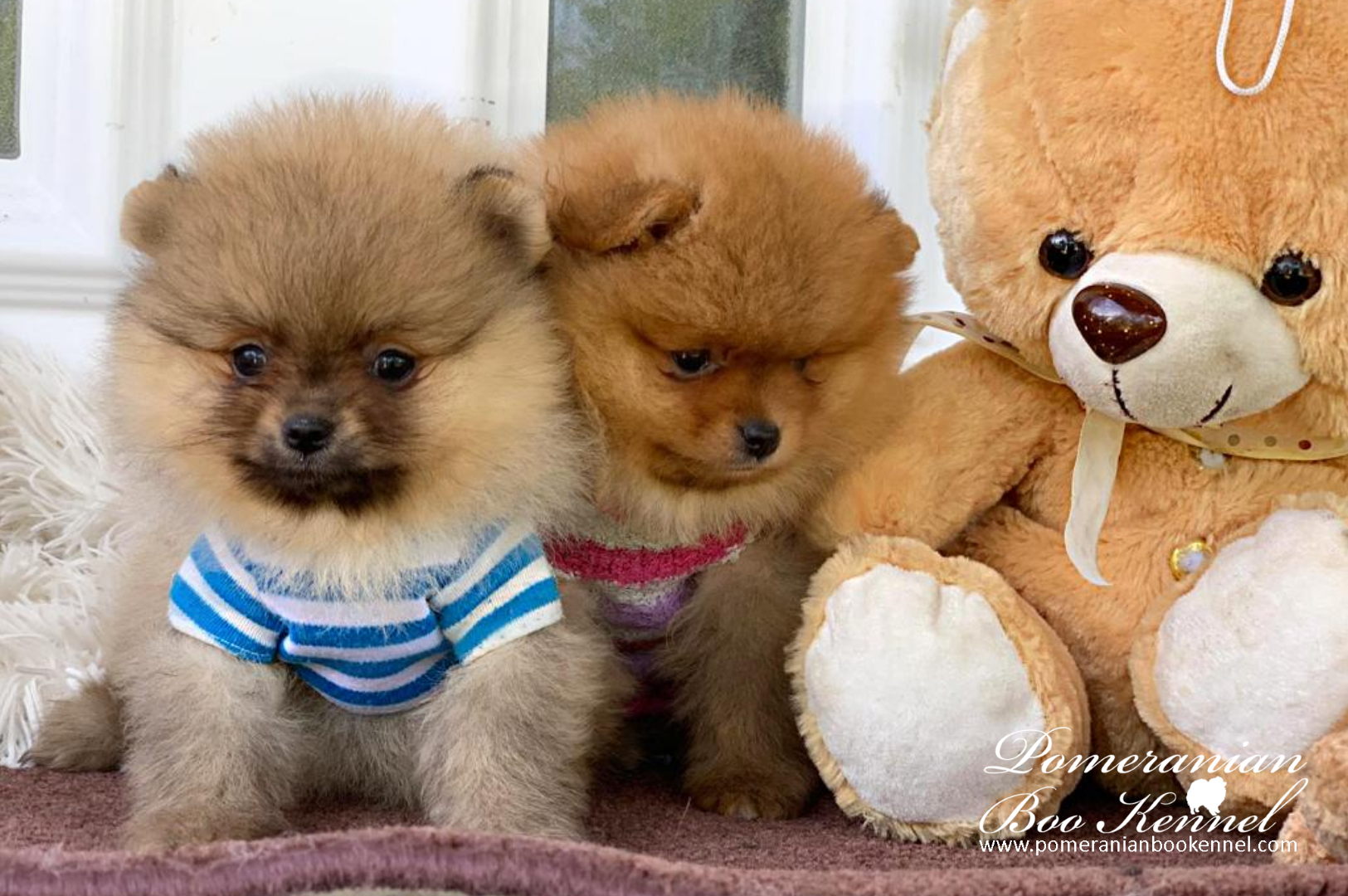 new pomeranian puppies in light orange and gray