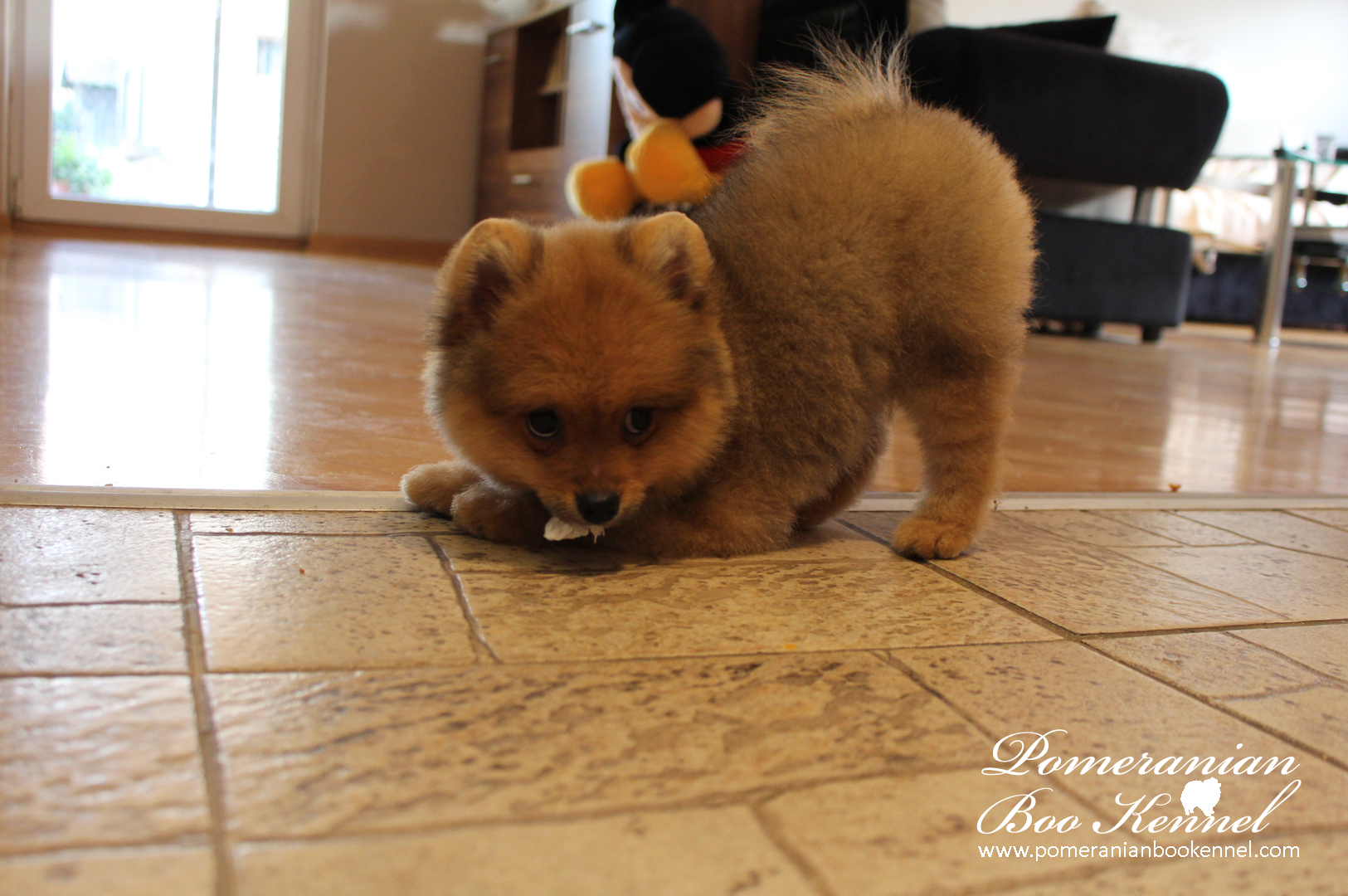 Male pomeranian puppy with BOO hairstyle