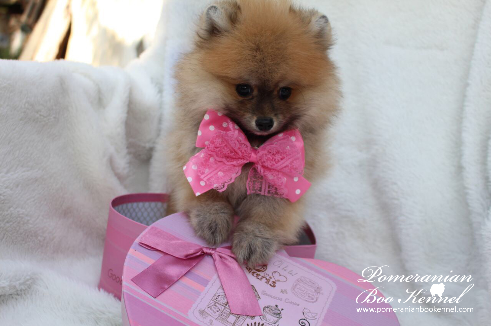 Female Puppy of Pomeranian Boo
